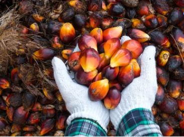 palm oil fruit for palm shortening substitutes